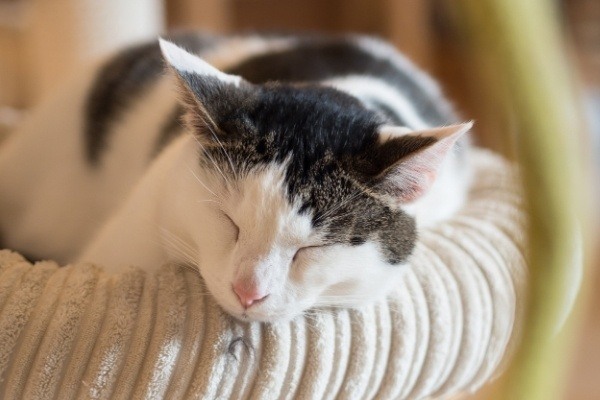 A white and brown spotted cat napping in a pet bed.