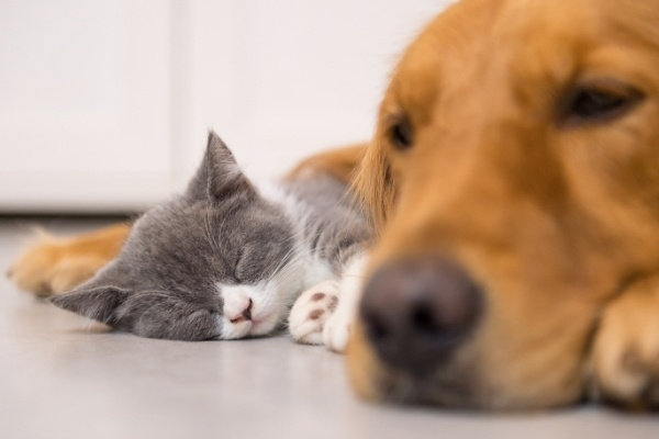 A golden retriever and small gray and white kitten napping together.