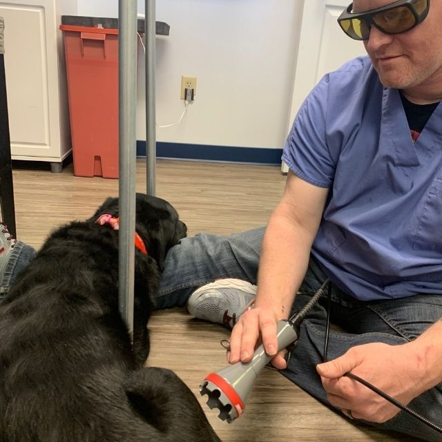 Aaron, a member of the CAMC staff, perform a laser therapy treatment on a black lab.