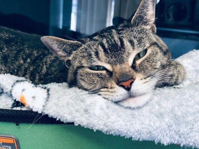 Venus, the Companion Animal Medical Centre's office cat