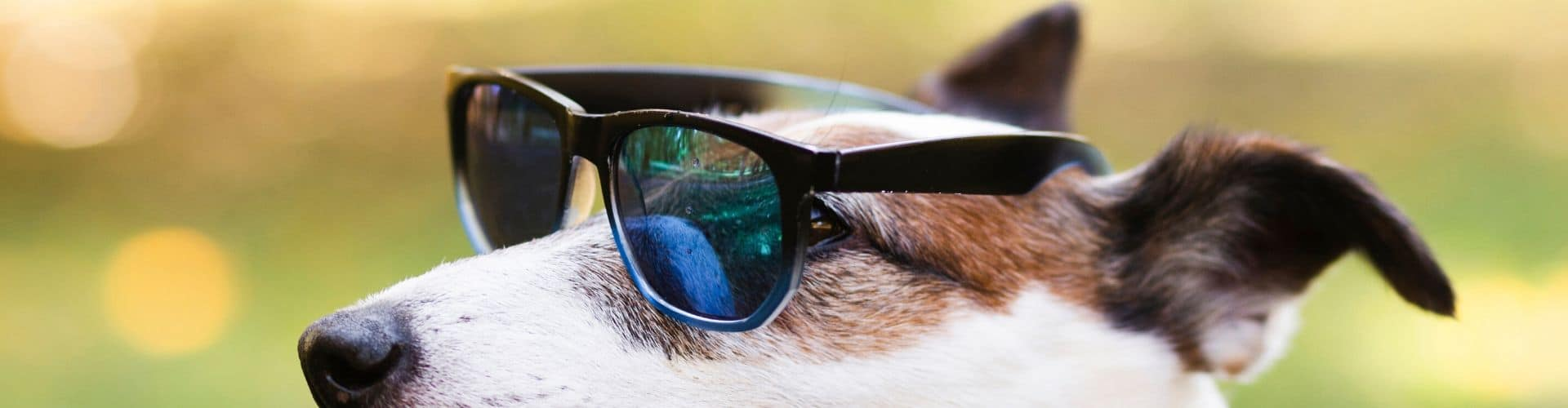 A dog wearing sunglasses looking very cool