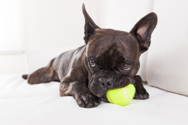 A small, black dog chewing on a yellow tennis ball.