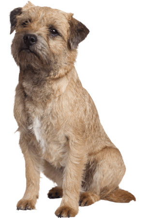 A small brown dog with wavy fur.