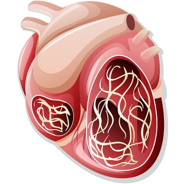 Dog heart with heartworms