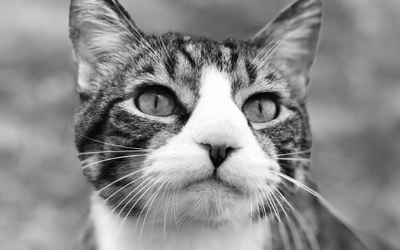 A black and white photo of Max, Dr. Gwendolyn Steffen's house cat.