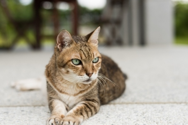 A amber tabby cat with bright green eyes