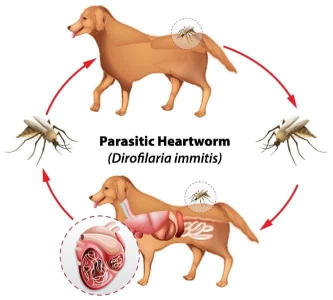 How Heartworm Spreads Diagram