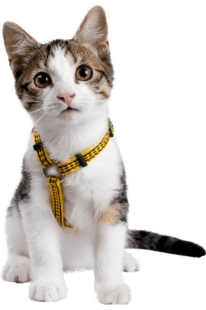 A small tabby kitten with white spots wearing a yellow harness.