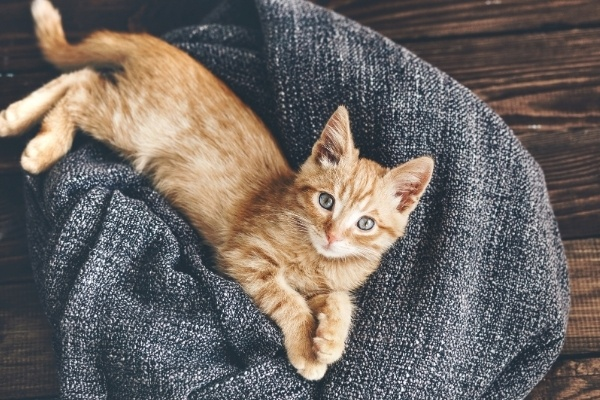 A small yellow tabby kitten lounging on a blanket.