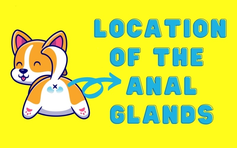 An illustrated graphic showing the location of the anal glands for anal gland expressions