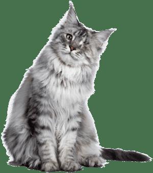 A senior gray tabby cat with one eye