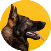 A german shepard posing against a yellow background
