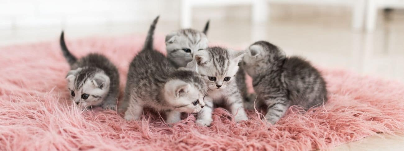 Five grey kittens on a pink rug