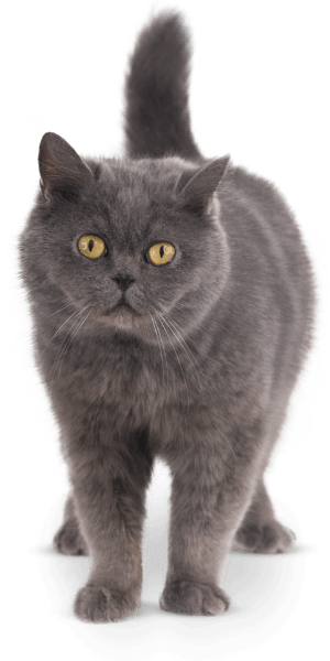 A gray cat with yellow eyes and a raised tail
