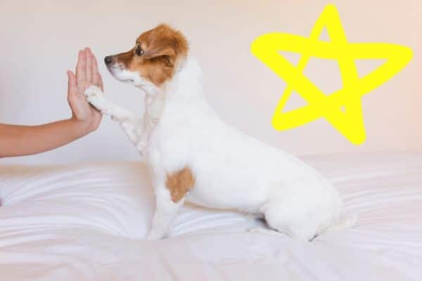 White dog giving high five with a star