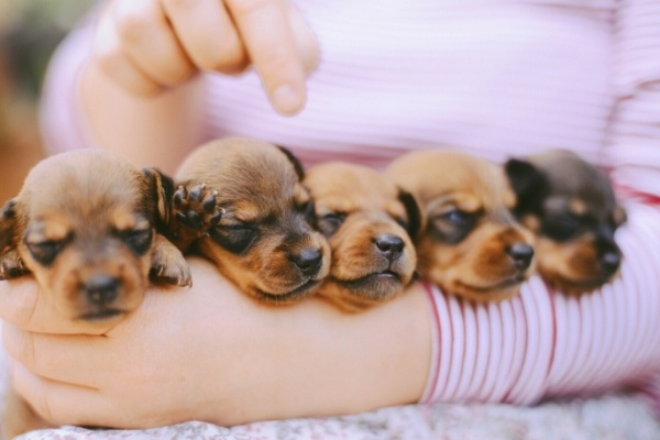 A litter of newborn puppies being held by their owner.