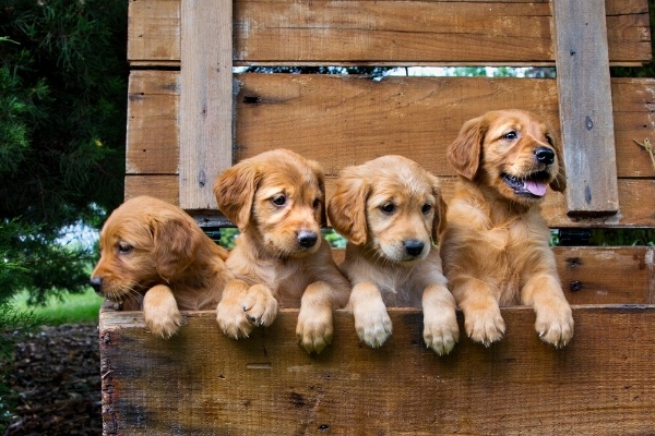 four puppies lined up behind a fence.