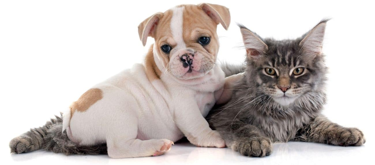 White and brown puppy on a grey cat