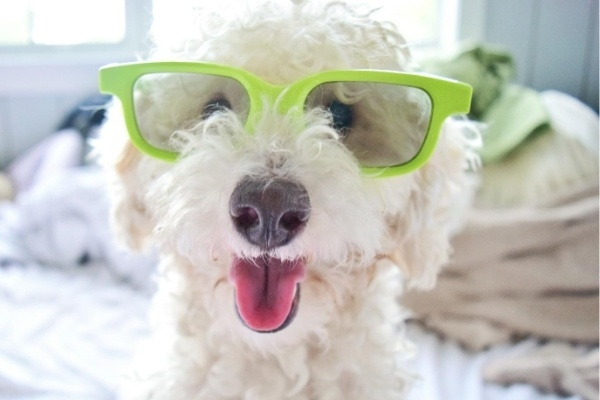 A small, white poodle wearing a pair of lime green novelty sunglasses.
