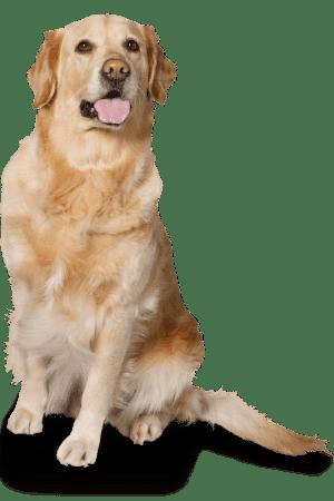 A senior golden retriever