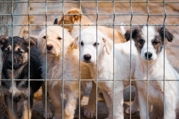 Several puppies staring through the fence of an animal shelter.
