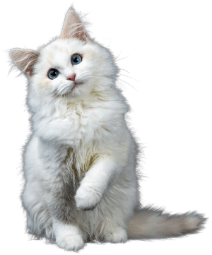 A white cat with blue eyes posing with one paw raised.