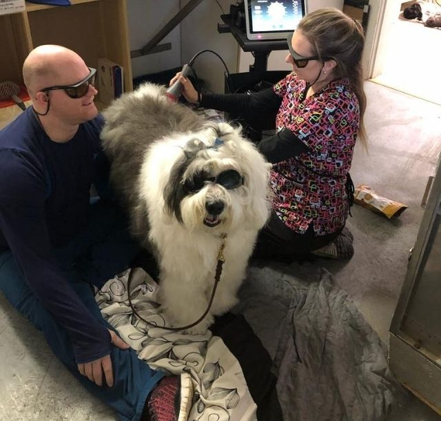 Two members of the Companion Animal Medical Centre staff performing a laser therapy treatment on a large sheep dog.