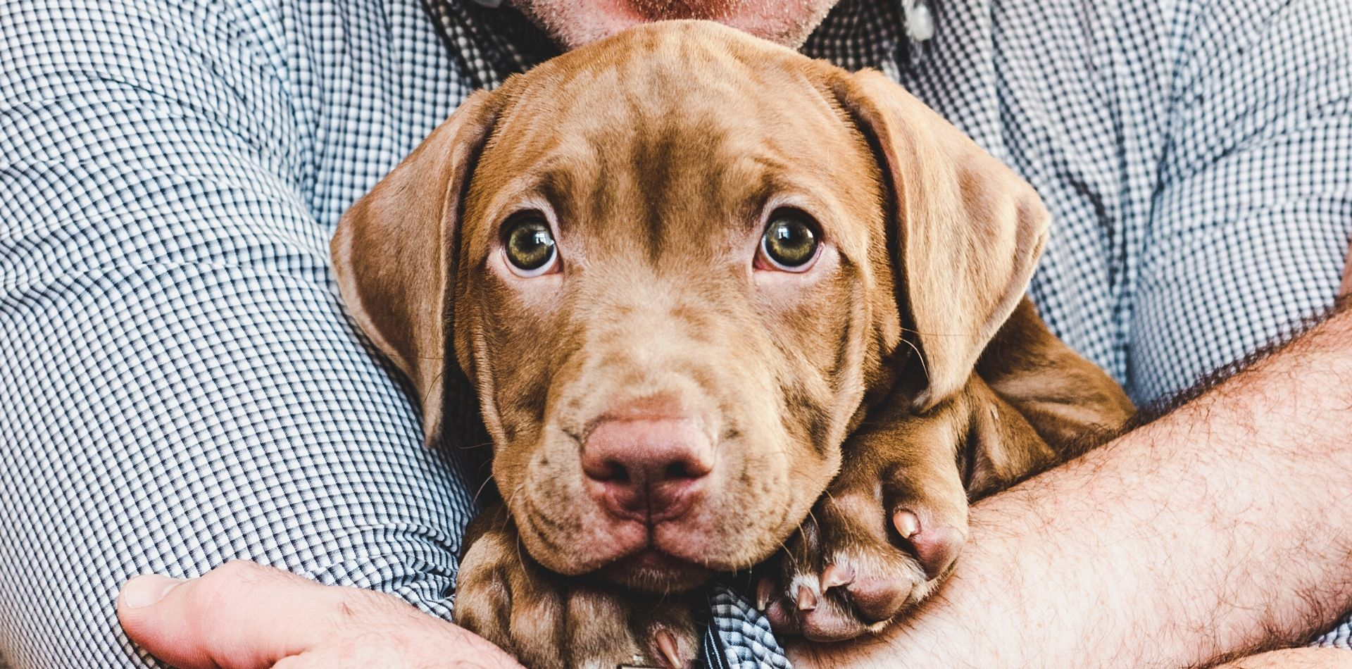 Brown lab puppy in a man's arms